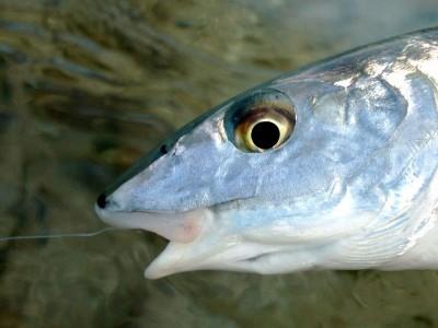 bonefish7